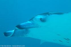 BD-130709-Maldives-9811-Manta-birostris-(Walbaum.-1792)-[Giant-manta.-Stillahavsmanta].jpg